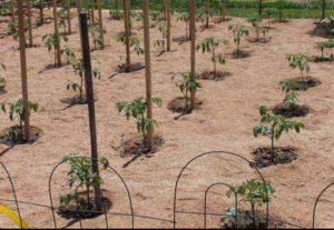Свежие опилки в огороде польза или вред